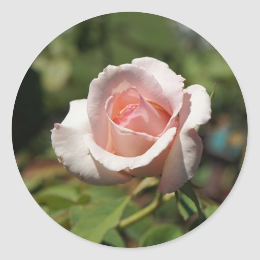 Color de rosa rosado pegatina redonda