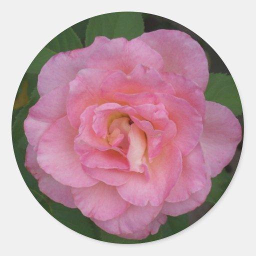 Color de rosa rosado pegatinas redondas