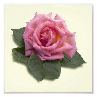 Color de rosa rosado fotografias