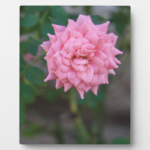 Color de rosa rosado placa