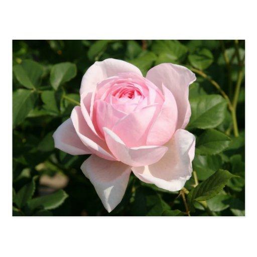 Color de rosa rosado postal