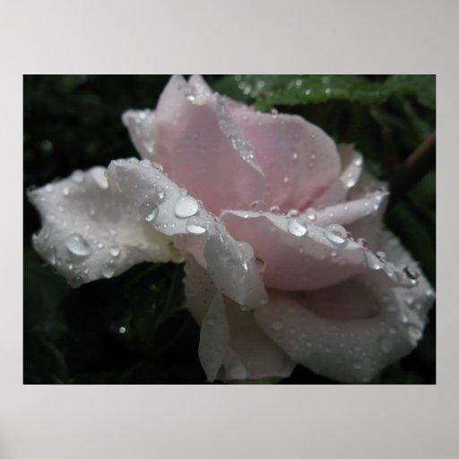 color de rosa rosado póster