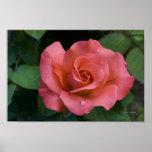 Color de rosa rosado - Raleigh, Carolina del Norte Poster
