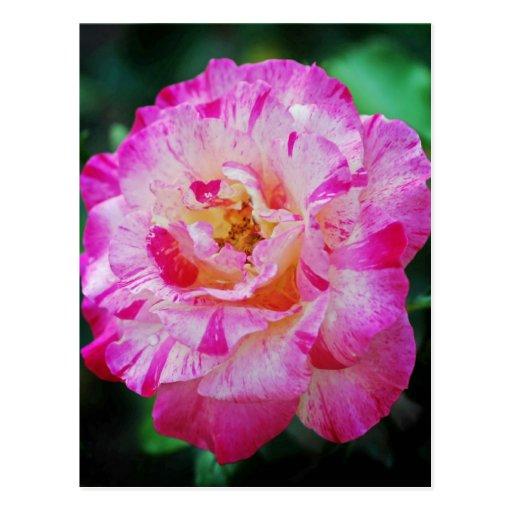 Color de rosa rosado rayado del caramelo tarjeta postal