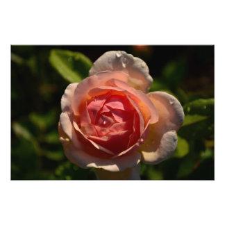 Color de rosa rosado romántico con las gotas de ag cojinete