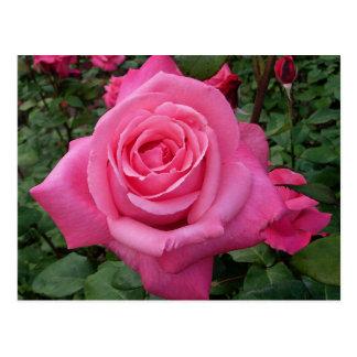 Color de rosa rosado postales