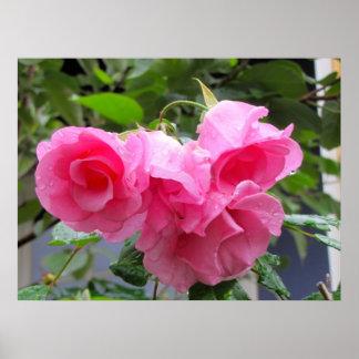 color de rosa rosado y gotas de agua poster