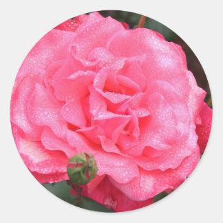 Color de rosa rosado y rocío pegatina redonda