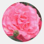 Color de rosa rosado y rocío pegatinas redondas
