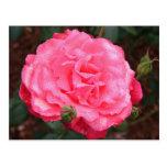 Color de rosa rosado y rocío postales