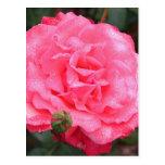 Color de rosa rosado y rocío tarjeta postal