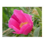 Color de rosa salvaje de F0007 Alberta Postal