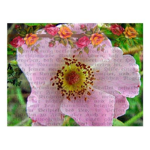 Color de rosa salvaje postales