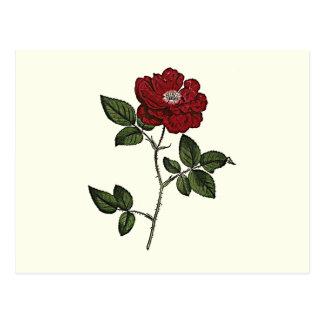 Color de rosa tarjetas postales