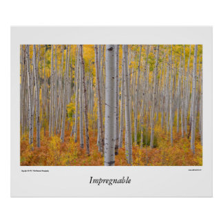 Colorado Aspen Tree Forest Poster