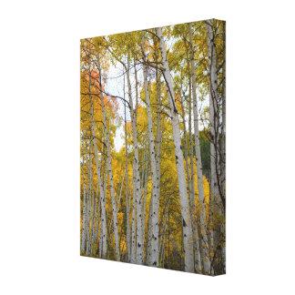 Colorado Birch Trees Gallery Wrap Canvas