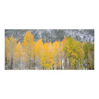 Colorado Birch Trees Photographic Print