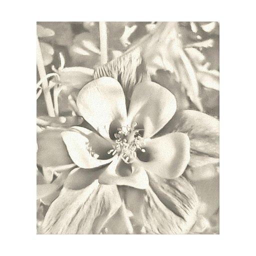 Colorado columbine flower canvas wrap canvas print