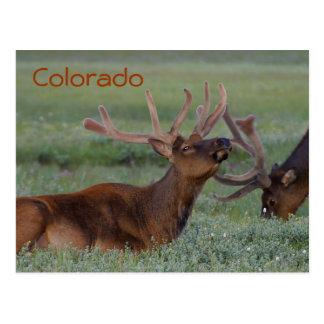 Colorado elk postcard