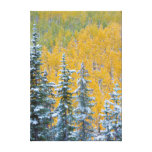 Colorado, Grand Mesa. Early snowfall on forest Canvas Print