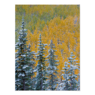 Colorado, Grand Mesa. Early snowfall on forest Poster