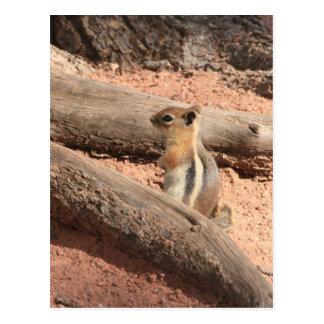 Colorado Ground Squirrel Postcard