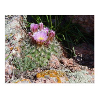 Colorado Hedgehog Cactus Postcard