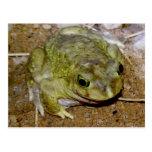 Colorado River Toad Bufo alvarius Postcard