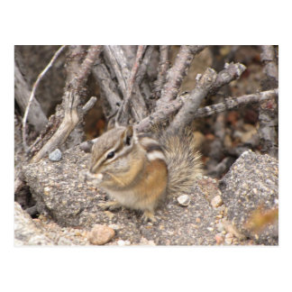 Colorado Rocky Mountain Chipmunk Postcard