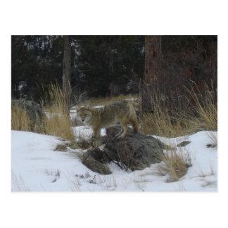 Colorado Snow Coyote Postcard