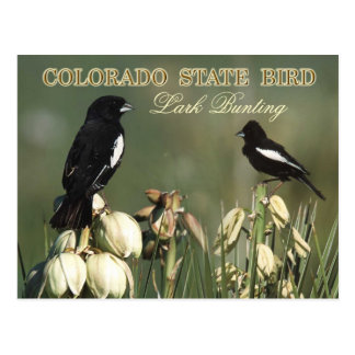Colorado State Bird - Lark Bunting Postcard