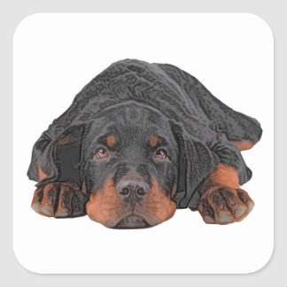 Colored Pencil Drawing Rottweiler Puppy Eyes Square Sticker