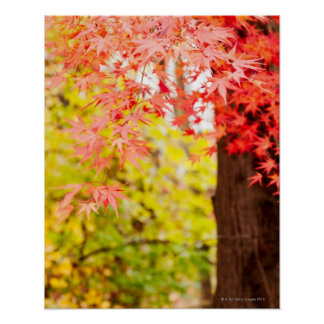 Colores brillantes del árbol de arce japonés en ot póster