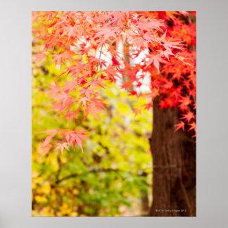 Colores brillantes del árbol de arce japonés en póster