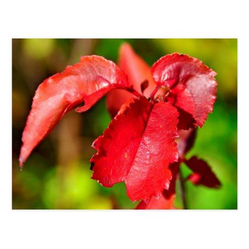 Colores de la caída - hoja roja postal