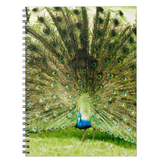 Colores de la exhibición del pavo real libros de apuntes con espiral