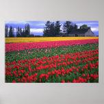 Colores sin fin de tulipanes posters