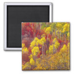 Colorful aspens in Logan Canyon Utah in the 2 2 Inch Square Magnet