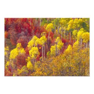 Colorful aspens in Logan Canyon Utah in the 2 Art Photo
