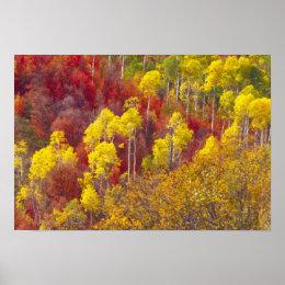 Colorful aspens in Logan Canyon Utah in the 2 Poster