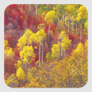 Colorful aspens in Logan Canyon Utah in the 2 Square Sticker