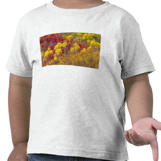 Colorful aspens in Logan Canyon Utah in the 2 Shirts