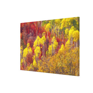 Colorful aspens in Logan Canyon Utah in the Canvas Print
