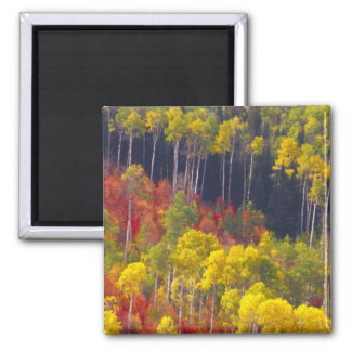 Colorful aspens in Logan Canyon Utah in the Fridge Magnets