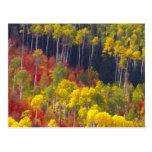 Colorful aspens in Logan Canyon Utah in the Post Card