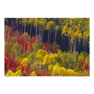 Colorful aspens in Logan Canyon Utah in the Poster