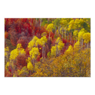 Colorful aspens in Logan Canyon Utah in the Poster