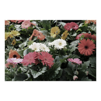 Colorful Asters Flowers with Muted Colors Poster