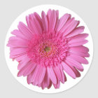 Colorful Bright Pink Gerber Daisy Sticker