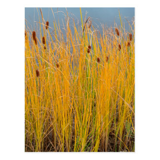 Colorful Cattails Postcard